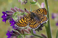 Glanville fritillary butterfly