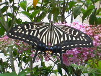 Papilio xuthus (Asian swallowtail)
